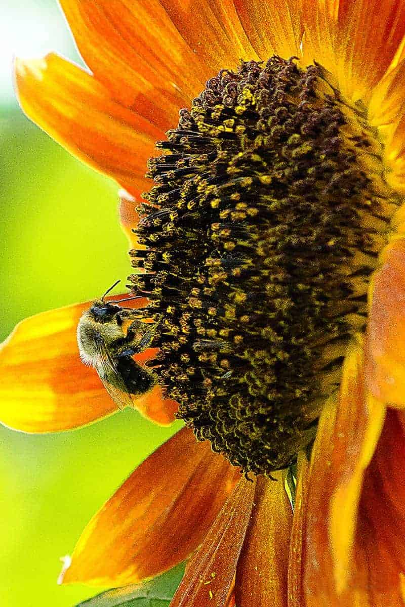 Bee at Wickham Farms